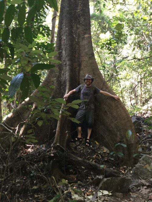huge jungle tree