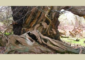 ancient tree at chirk castle