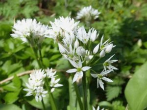 wild garlic at erddig