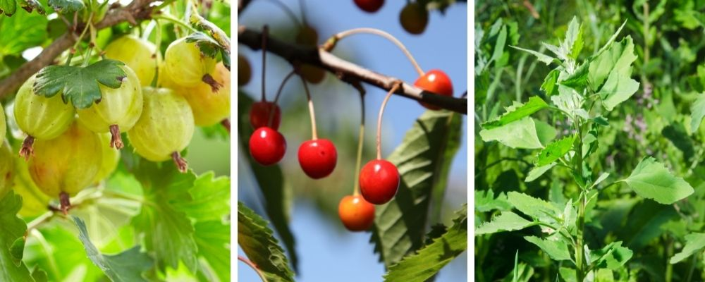 summer wild food and foraging