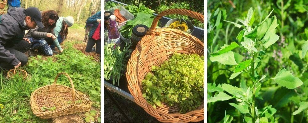 summer foraging and wild food walk