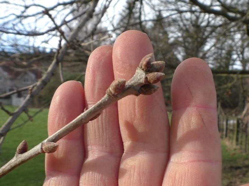 tree identification in winter
