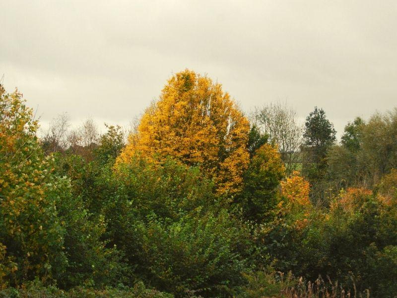 hornbeam in autumn
