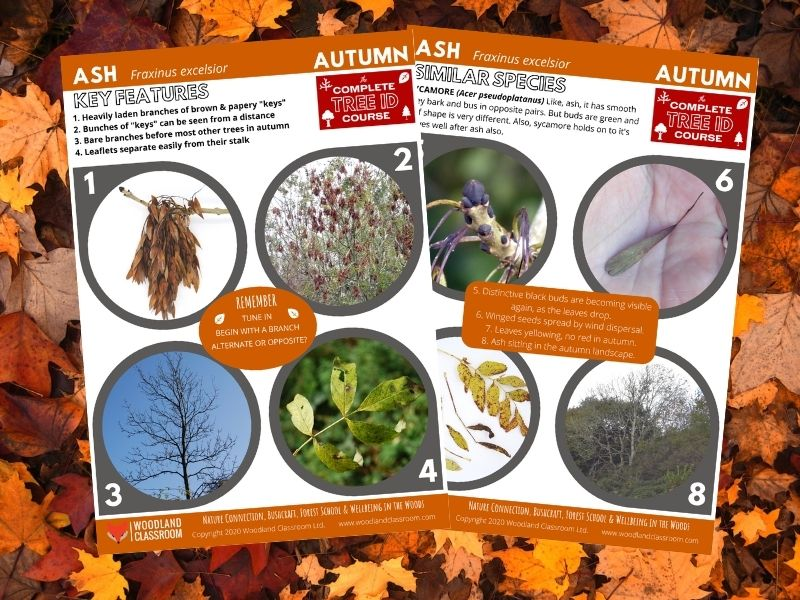 tree id cheat sheets: ash in autumn