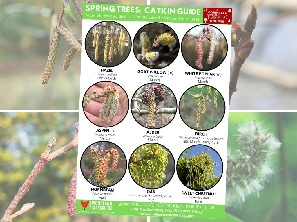 free spring tree catkin guide