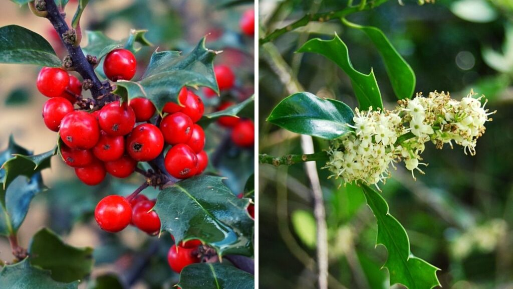holly with female berries and male flowers