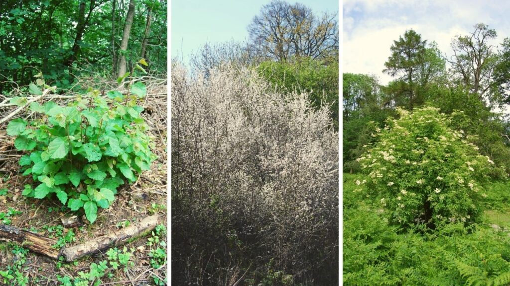 common native shrubs of the UK