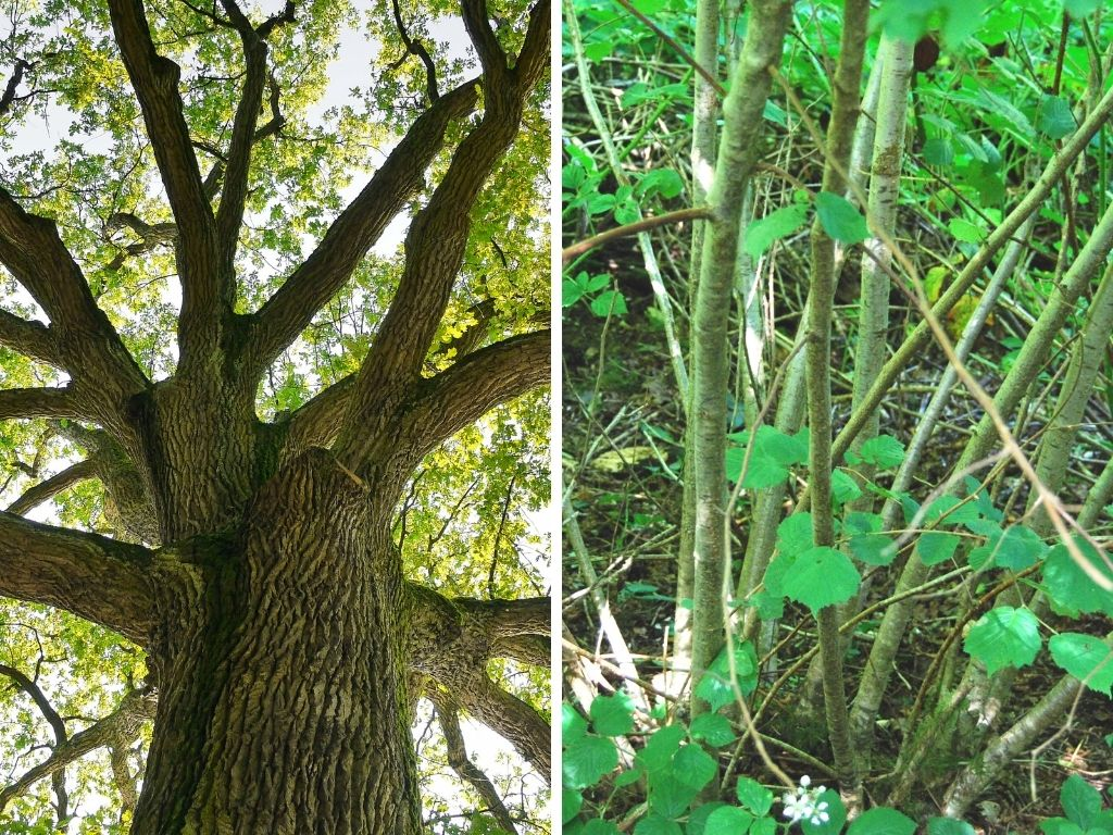 trees versus shrubs what's the difference