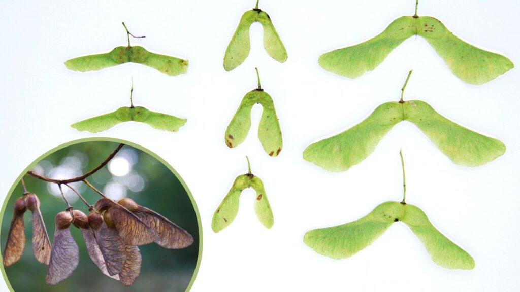 comparing maple seeds