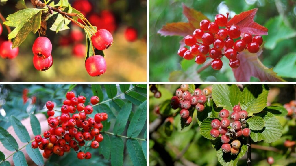 uk native trees in autumn: red berries