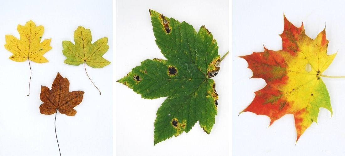 comparing autumn maple leaves