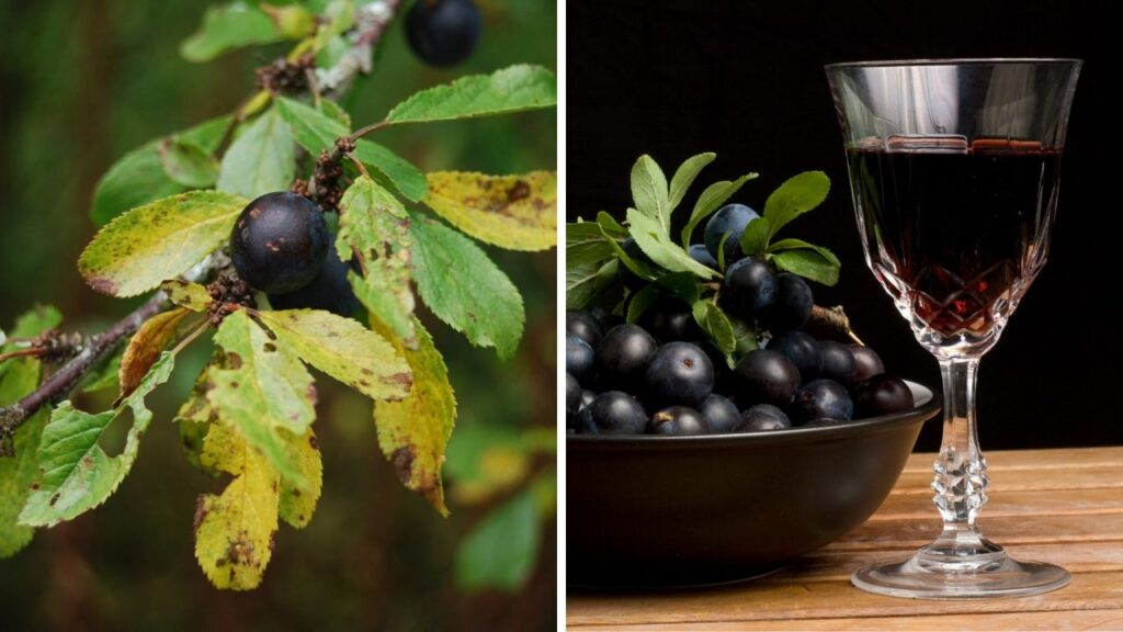 sloes and blackthorn - tree foraging