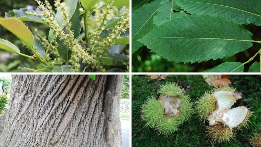 how to identify sweet chestnut