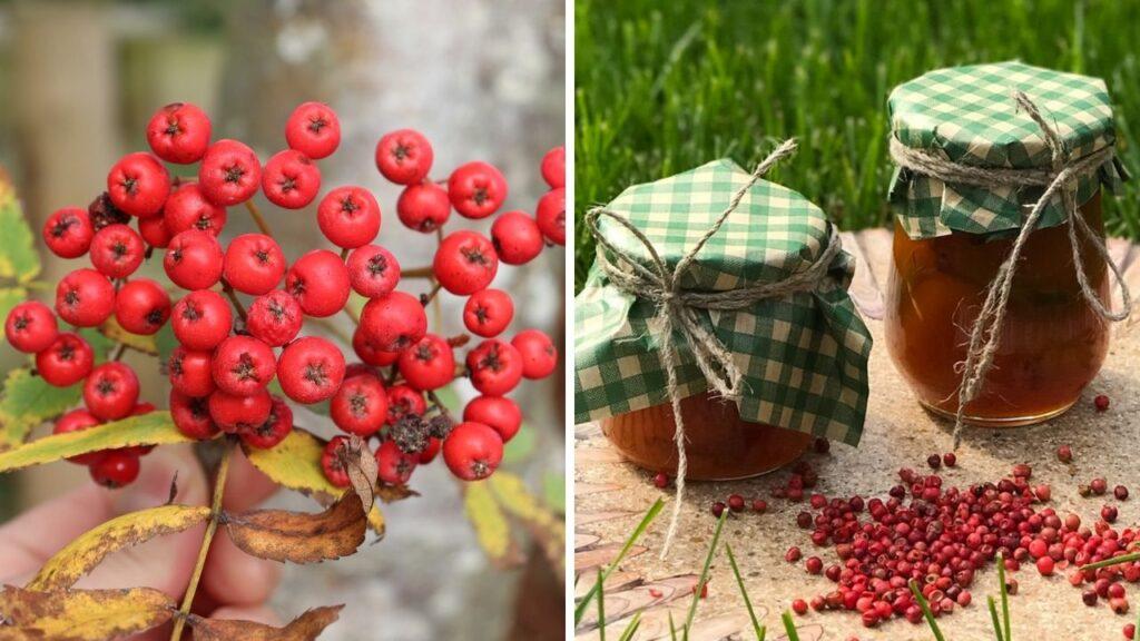 rowan berries - tree foraging