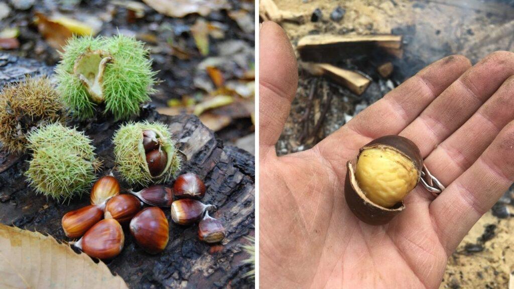 sweet chestnut tree foraging